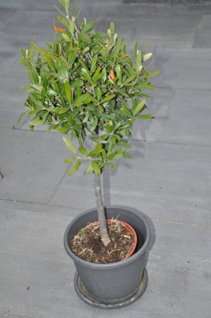 Olive im Topf - Olivenbaum / Olivenstämmchen auf der Terrasse