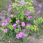 Lila Rhododendron im Garten