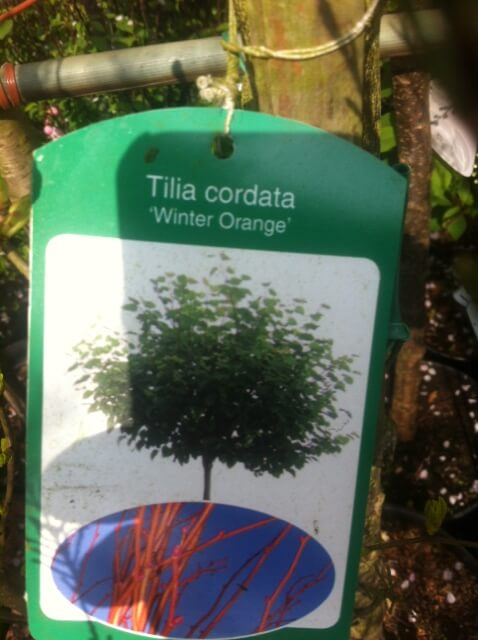 Tilia Cordata - Winter Orange