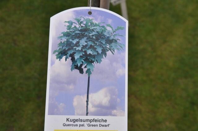 Kugelsumpfeiche - Baum für den Vorgarten mit Kugel als Krone