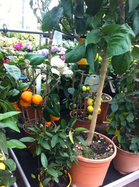 Zitrusfrüchte im Topf - Orangen und Zitronen