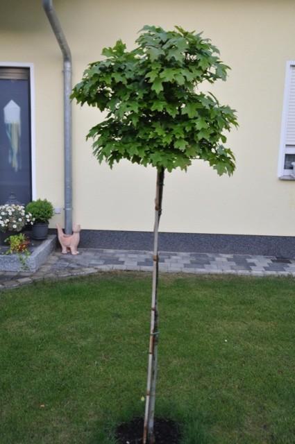 Kugelsumpfeiche im Vorgarten (Quercus palustris Green Dwarf)