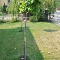 Braune Blätter an der Kugelsumpfeiche –  Laub im Sommer?