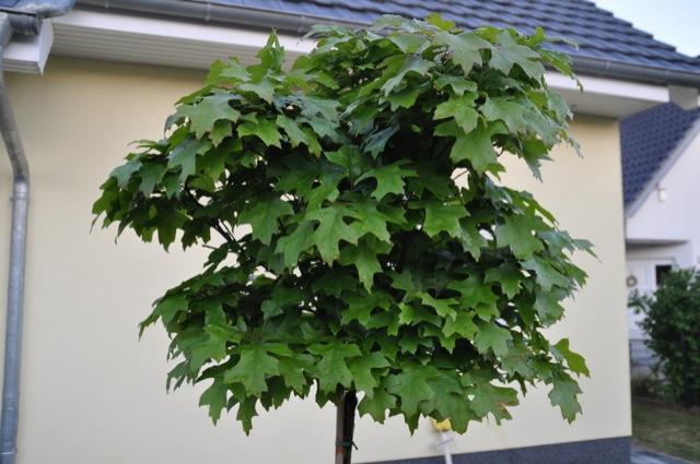 Runde Krone der Kugelsumpfeiche (Quercus palustris Green Dwarf)