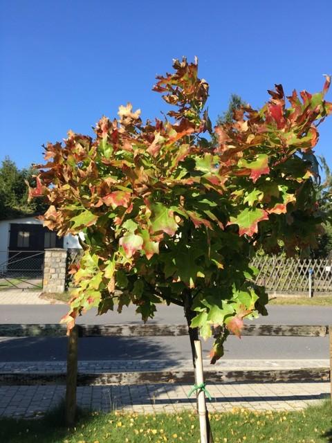 Baum im Vorgarten: Green Dwarf - Blätterfarbe im Herbst
