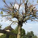 Harlekinweide im Herbst zurück schneiden