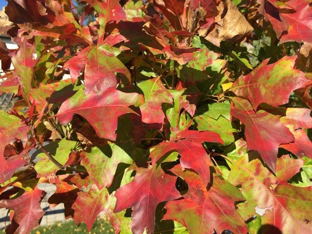Herbstblätter der Kugelsumpfeiche