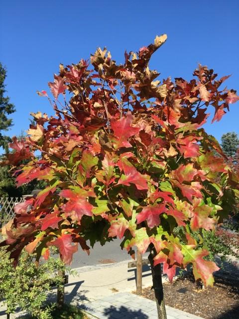 Kugelsumpfeiche - Blätter im Herbst: Schöne Rot-Färbung