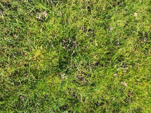 Moos im Rasen hat das Gras fast komplett verdrängt