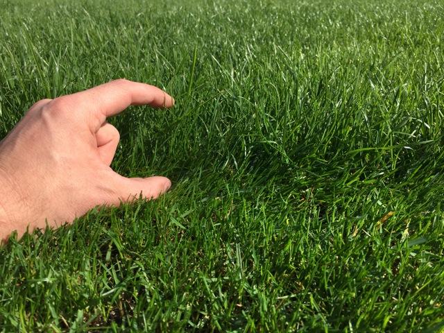 Wachstum vom Rasen - 2 Wochen nach der Düngung