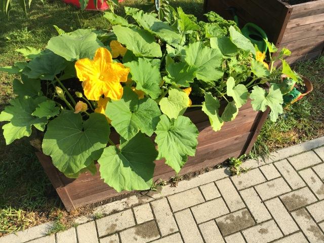 Gemüse im Hochbeet - auch Kürbis und Zucchini sind möglich