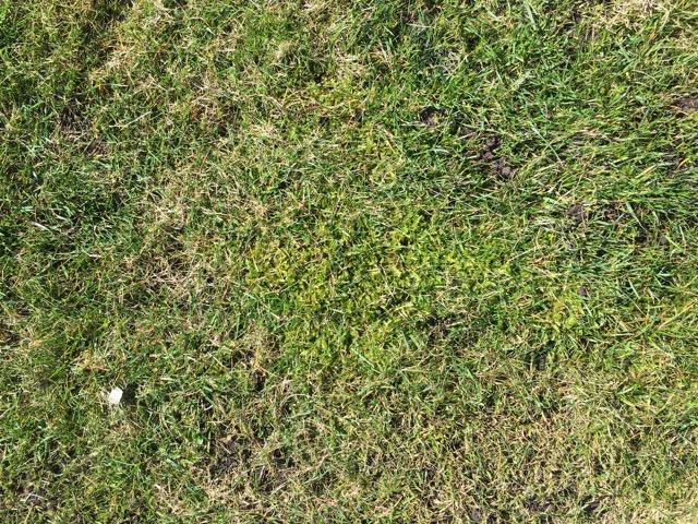 Moos im Rasen vertikutieren