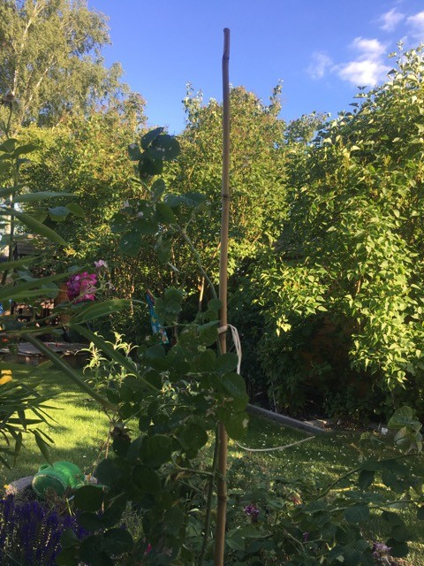 Rankstab aus Bambus als Stützhilfe für Rosen