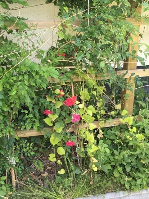 Rosen am Rankgitter - fast überwachsen