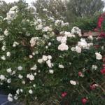 Rosengitter als Sichtschutz im Garten