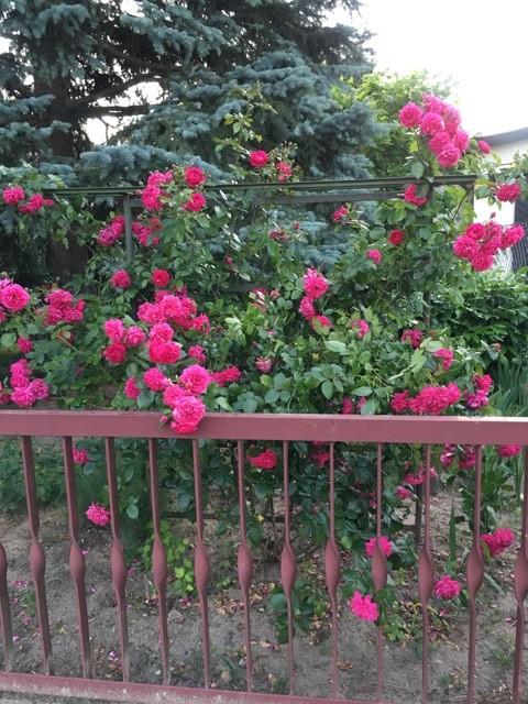Große Strauchrose als Begrenzung am Zaun