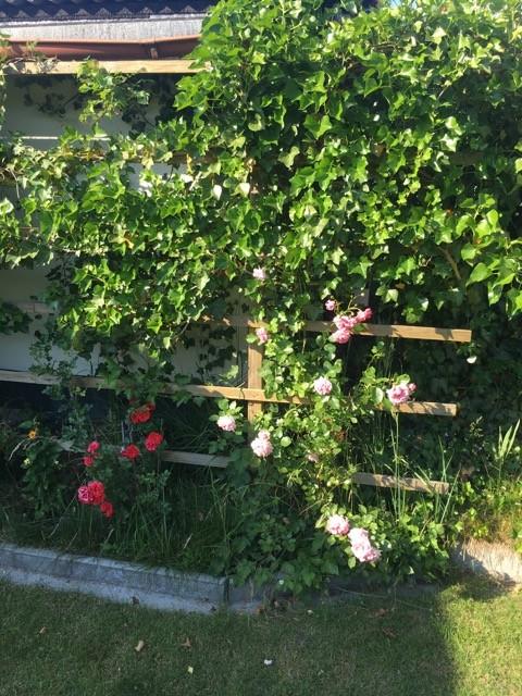 Rosen am Rankgitter als Sichtschutz
