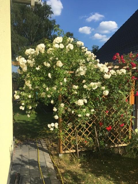 Rankgitter mit Rosen als Sichtschutz