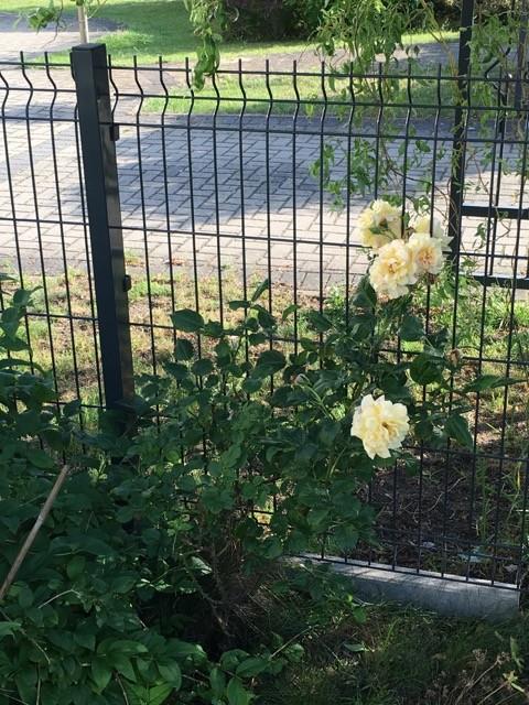Strauchrose zur Bepflanzung am Zaun
