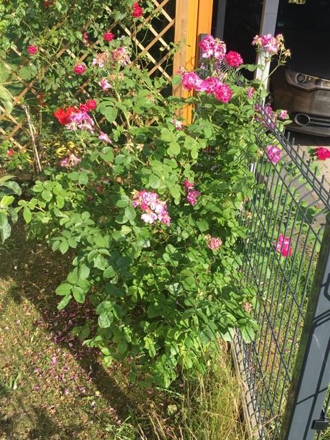 Strauchrosen am Zaun zum Nachbar